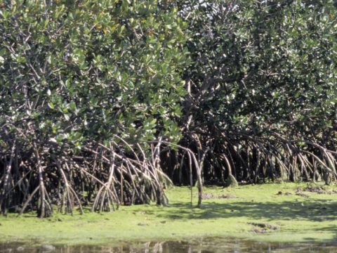 Rising sea ranges could well perhaps well wipe out mangroves by 2050